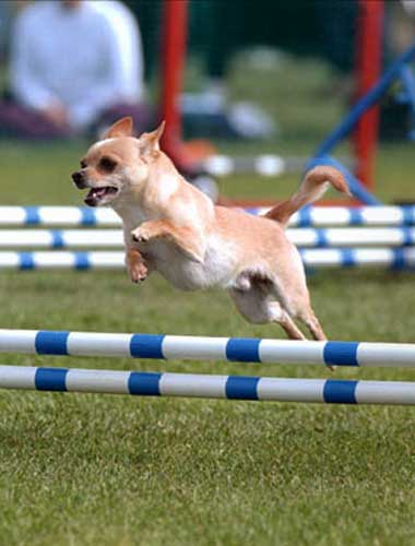 Agility Training For Dogs Seattle