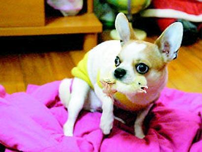 Chihuahua's Pet Chick
