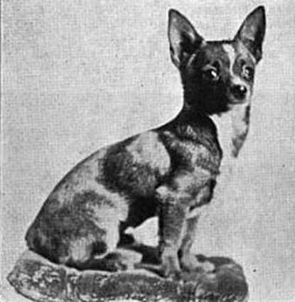 Chihuahua luonne
