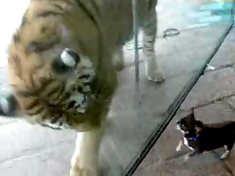 Chihuahua vs Tiger