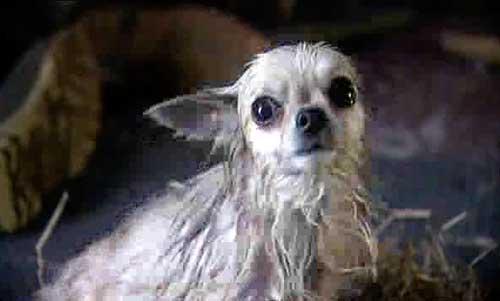 Chihuahua Messiah