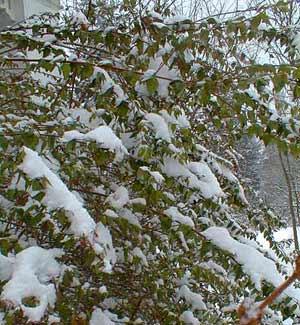 Abelia Under Snow