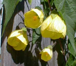 Paghats Garden Abutilon X Luteus