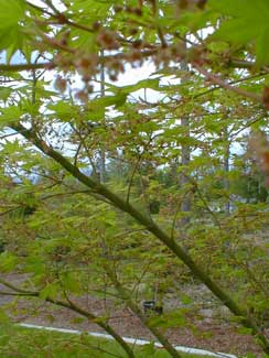 Greenleaf Maple