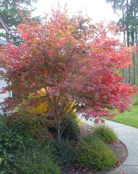 Paghats Garden Acer Palmatum Atropurpureum Bloodgood