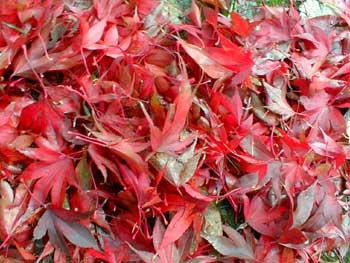 Atropurpeum fallen leaves