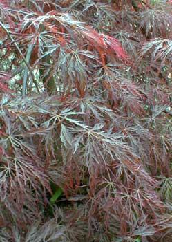 Acer Palmatum Dissectum Atropurpureum Tamukeyama