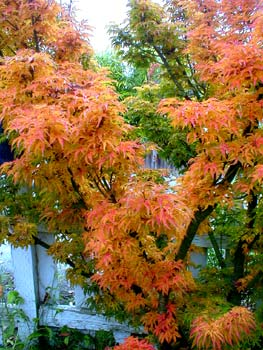 Paghats Garden Acer Palmatum Shishigashira