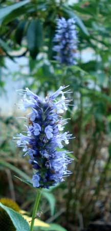 Purple Giant Hyssop