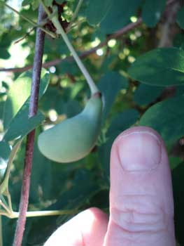 Akebia Fruit