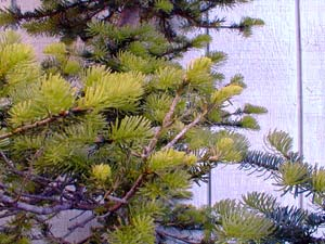 Alpine Fir