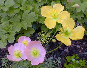 Alpine Poppy Pink &amp Yellow
