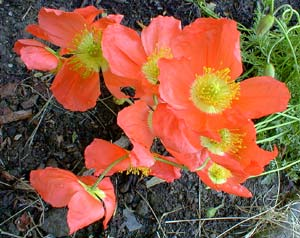Alpine Poppy Peach