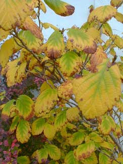 American Witchhazel