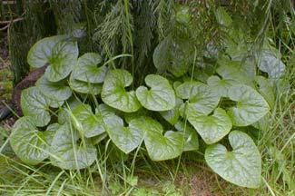 A. caudatum