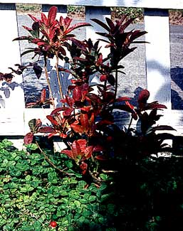 Deciduous Azalea in Autumn