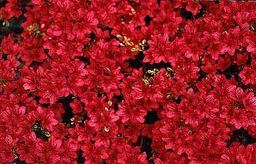 Hino Crimson May Flowers