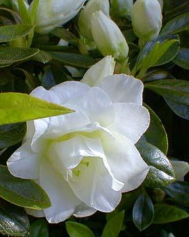 White Rosebud Azalea