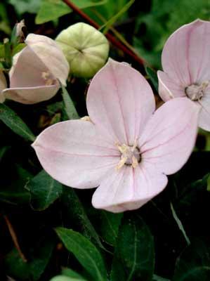 Paghat S Garden Platycodon Grandiflorus Fuji Pink