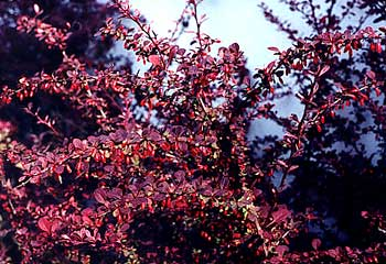 Red Barberry Briars