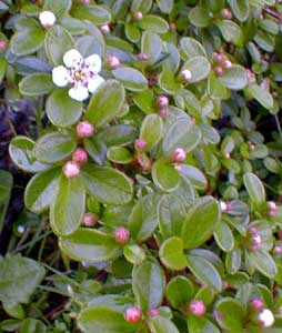 Bearberry Pomes