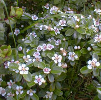 Bearberry Blossoms