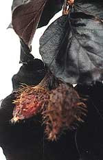 Black Swan Beechnuts