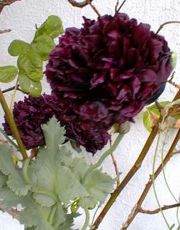 Paghats garden papaver somniferum black cloud black cloud peony poppy mightylinksfo