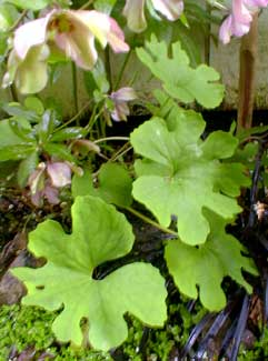 Bloodroot leaves