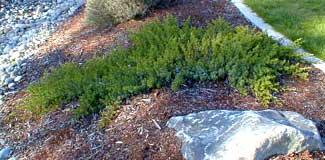 Carpet Juniper