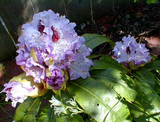 Blue Peter Rhododendron