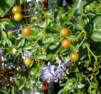 Blue Potato Vine Berries