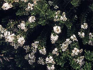 Boxleaf Hebe blooms