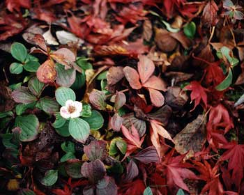 Bunchberry &amp Leaf-fall