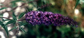 Indigo Butterfly Bush