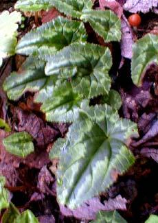 White Cyclamen leaf