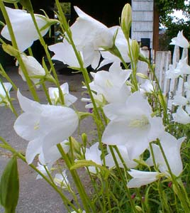Paghats garden campanula persicifolia var alba white peachbells white peachbell a classic bell flower mightylinksfo