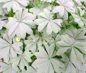 O. adenophylla