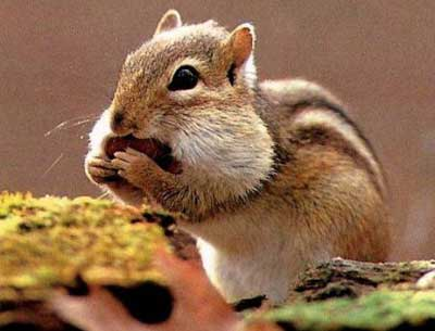 how to get rid of chipmunks under porch