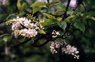 Choke Cherry Bloom