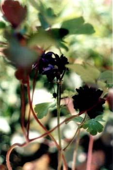 Black Barlow