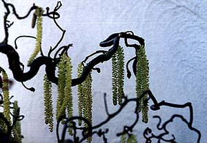 March Catkins