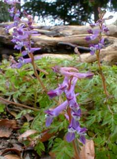 Paghat 39 s garden corydalis x flexuosa 39 blackberry wine 39 Sun garden riesling