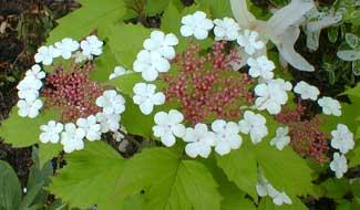 Highbush Cranberry blooms