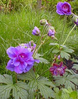 Lilac Plenum