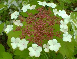 Highbush Cranberry Bloom
