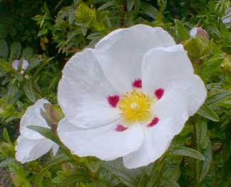 Crimson-spot Sunrose