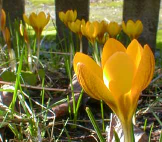 Goldilocks Crocus