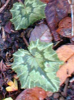 Cyclamen leaf