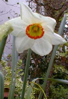 Milan Daffodil